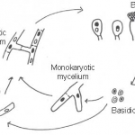 Difference Between Ascomycetes and Basidiomycetes