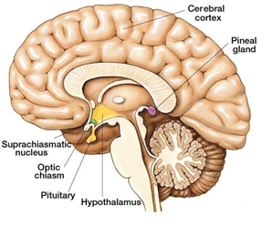 Pituitary gland Image, Pineal gland image,