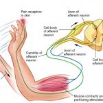 Sensory and Motor Nerves