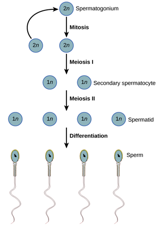 Difference Between Spermatogenesis
