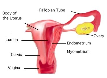 Difference between cervix and uterus cervix vs uterus image 2 uterus cervix ccuart Choice Image