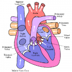 Difference Between Atria and Ventricles
