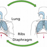 Difference Between Inhalation and Exhalation