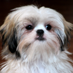 Difference Between Havanese and Shih Tzu