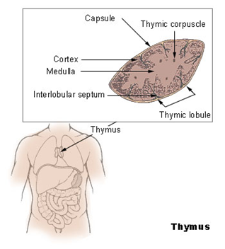Difference Between Thymus