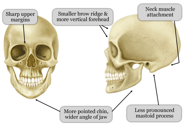 Difference Between Female Skull
