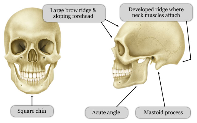 Difference Between Male Skull