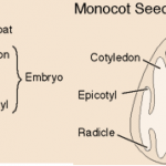 Monocot and Dicot Seeds