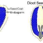 Difference Between Monocot and Dicot Seeds