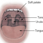 Difference Between Uvula
