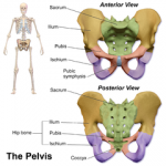 Difference Between Bony Points of the Pelvic