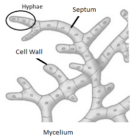 relationship between the hyphae and mycelium