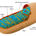 Difference Between Mitochondria and Plastids