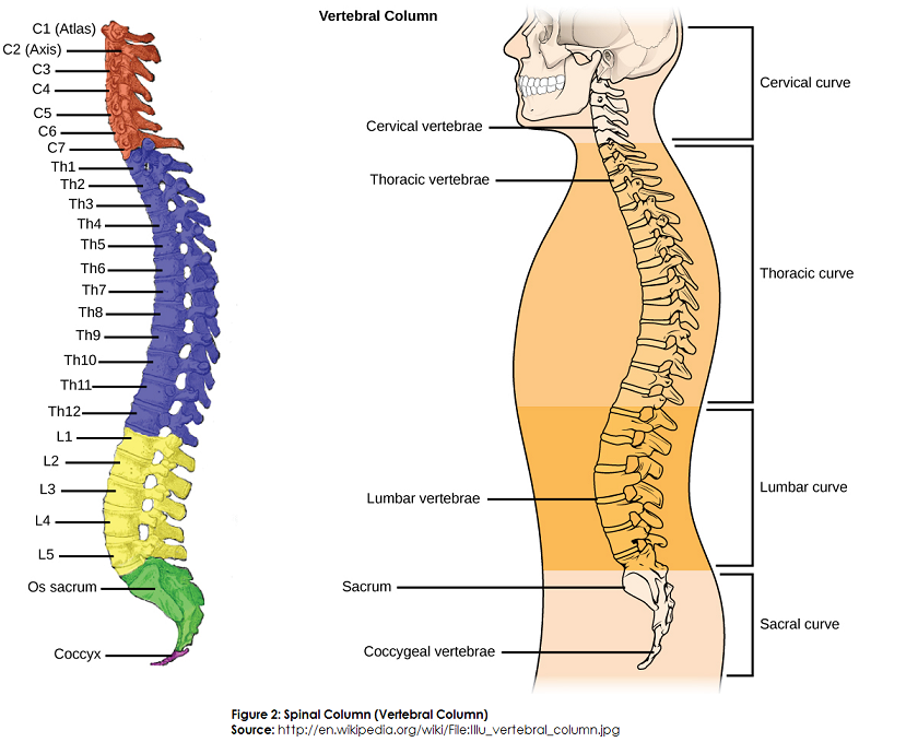 difference between spinal cord and spinal column (backbone, Human Body