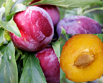Plum vs Prune | Difference Between