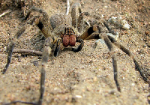 Brazilian Wandering Spider Difference Between