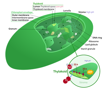 relationship between structure and function of chloroplast in photosynthesis