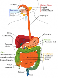 Throat and Esophagus   Difference Between