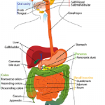 Difference Between Throat and Esophagus