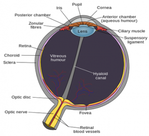Aqueous Humor and Vitreous Humor   Difference Between