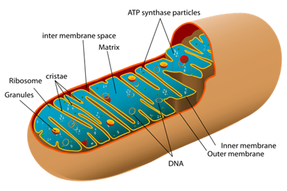 an analysis of mitochondria and chloroplast The different fates of mitochondria and chloroplasts during dark-induced senescence in arabidopsis leaves.