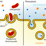 what is the relationship between pinocytosis and phagocytosis