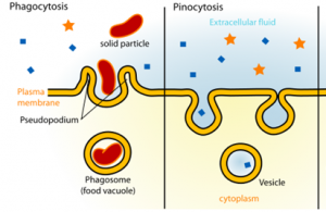 Pinocytosis and Phagocytosis | Difference Between
