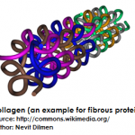 Difference Between Fibrous and Globular Proteins