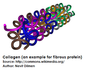 Example of Fibrous Protein | Difference Between