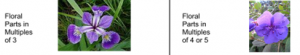 Monocot and Dicot Flowers   Difference Between