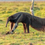 Difference Between Aardvarks and Anteaters