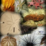 Difference Between Phylum Annelida and Echinodermata