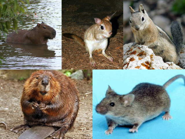 Rodents | Difference Between Rodents and Lagomorphs