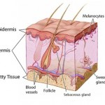 Difference between Sebaceous Glands and Sweat Glands