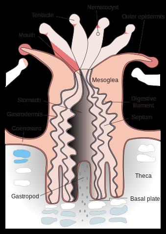Epidermis vs Gastrodermis