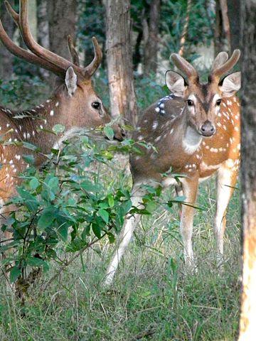 Stag vs Buck