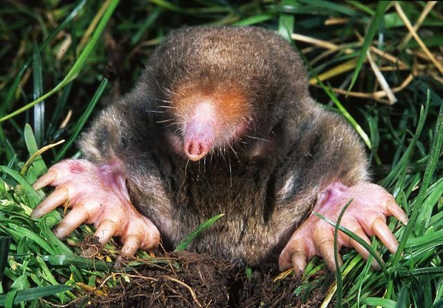 mole vs.gopher
