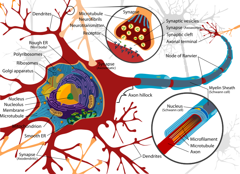 Difference Between Neurilemma and Myelin Sheath
