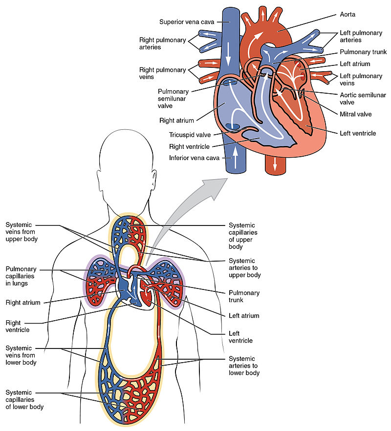 the human arterial and venous systems are diagrammed on this page and the next identify all indicate The human arterial and venous systems are diagrammed on this page and the  next identify all indicated blood vessels kօծ է ( 0 )րն الليلهصملسكا (000dr.