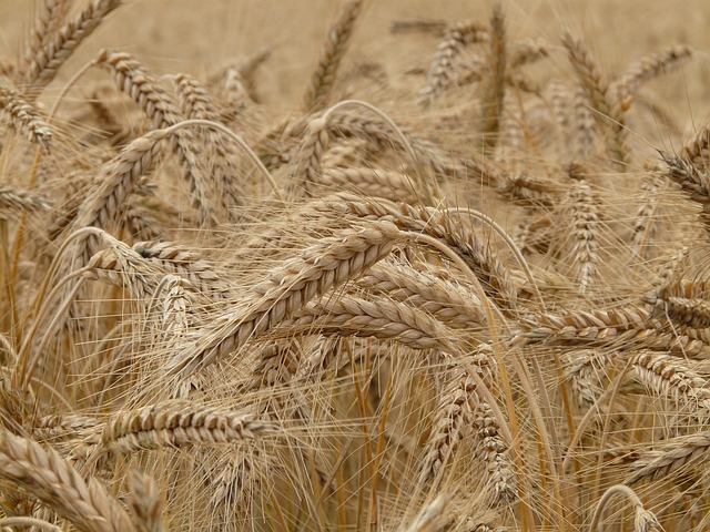 difference between wheat and gluten.
