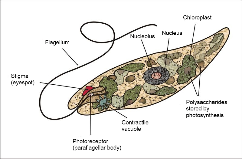 Difference Between Monera and Protista | Monera vs Protista