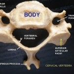 Difference between Cervical and Thoracic Vertebrae