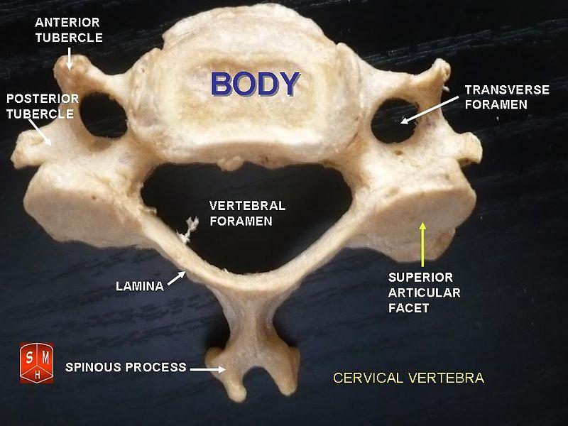 difference between cervical and thoracic vertebrae | cervical vs, Skeleton