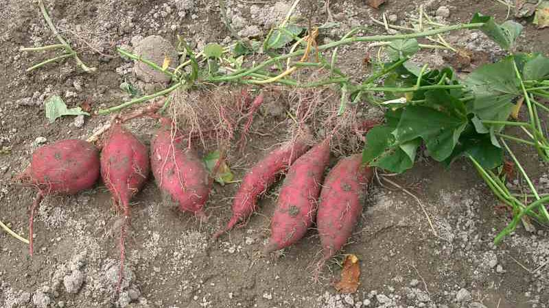 key dfference rhizome vs tuber