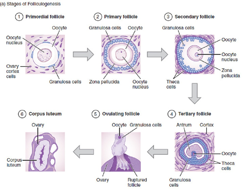 Difference Between Primordial Follicle and Primary Follicle