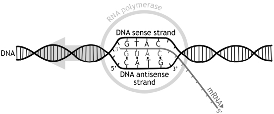 Difference between sense and antisense strand sense vs for Difference between template and coding strand