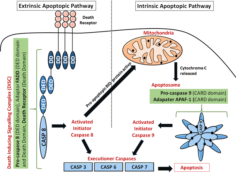 Difference Between Apoptosis and Pyroptosis