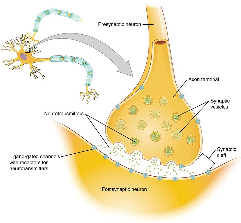 an analysis of the role of neurotransmitters in the nervous system