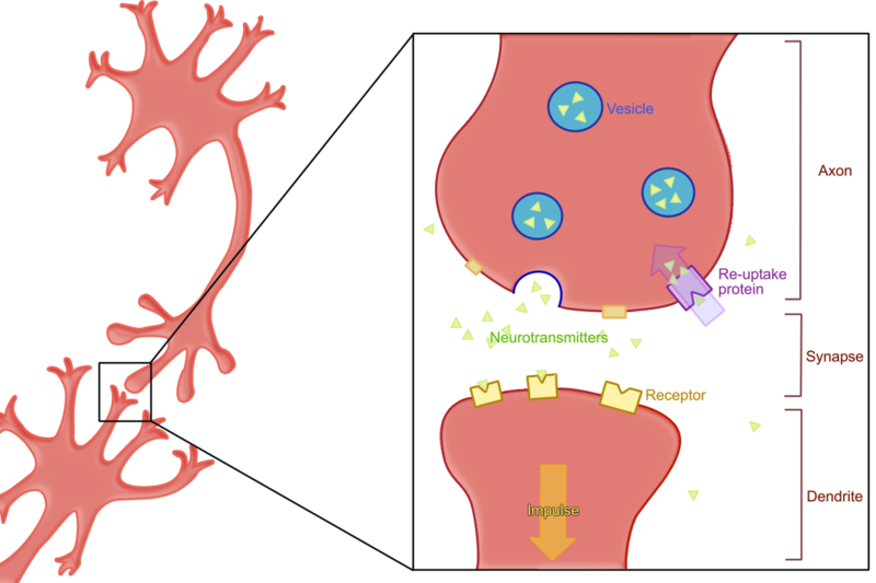 Difference Between Excitatory and Inhibitory Neurotransmitters