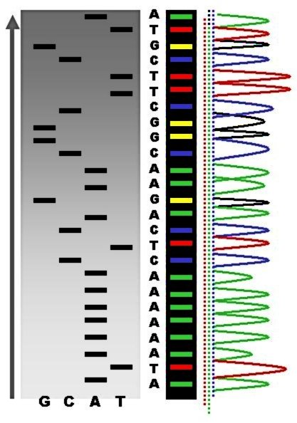 Main Difference - Genotyping vs Sequencing